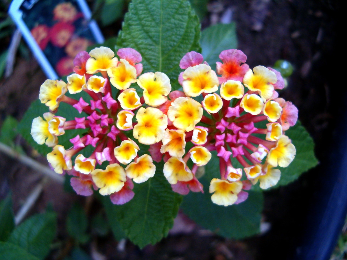 One variety of lantana that I love
