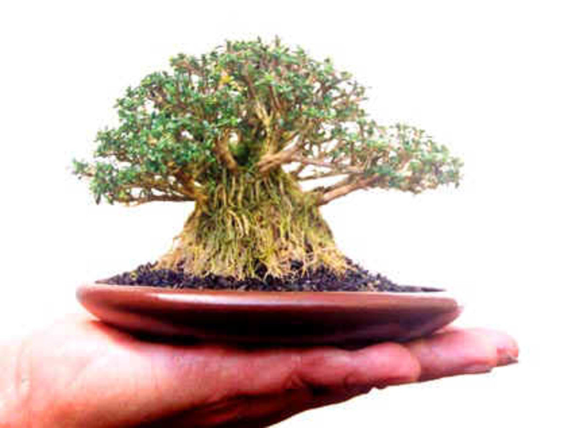 Mame Bonsai Banyan