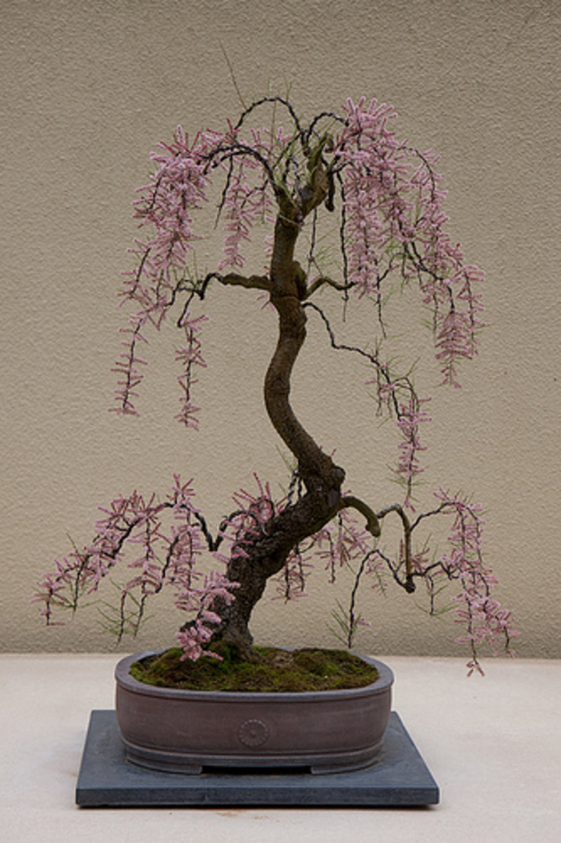 A Beginner S Guide To Growing Mame Bonsai Dengarden Home And Garden