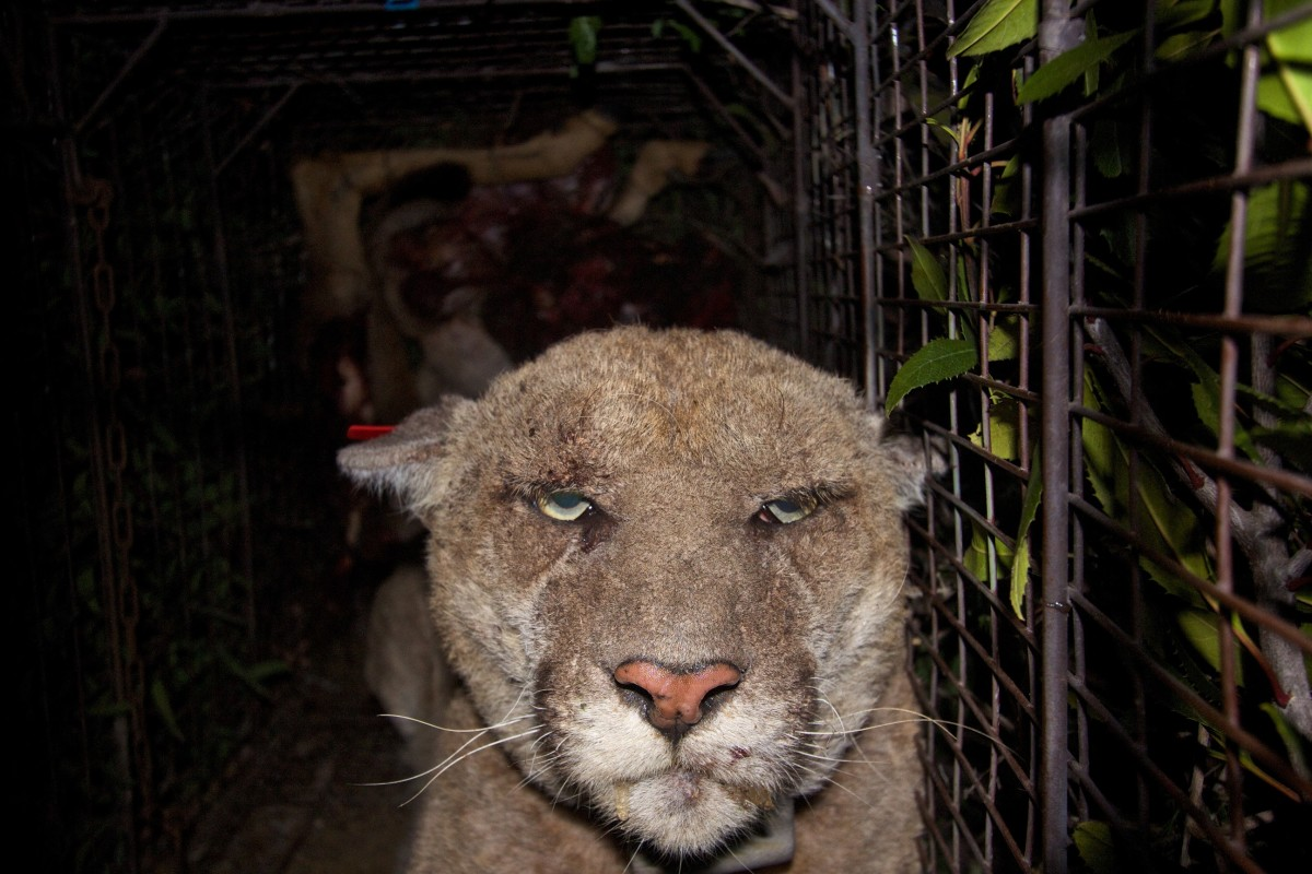 P-22, a mountain lion that lives in Griffith Park in Los Angeles.  His coat shows signs of mange attributed to rat poison but he was treated after this photo was taken.