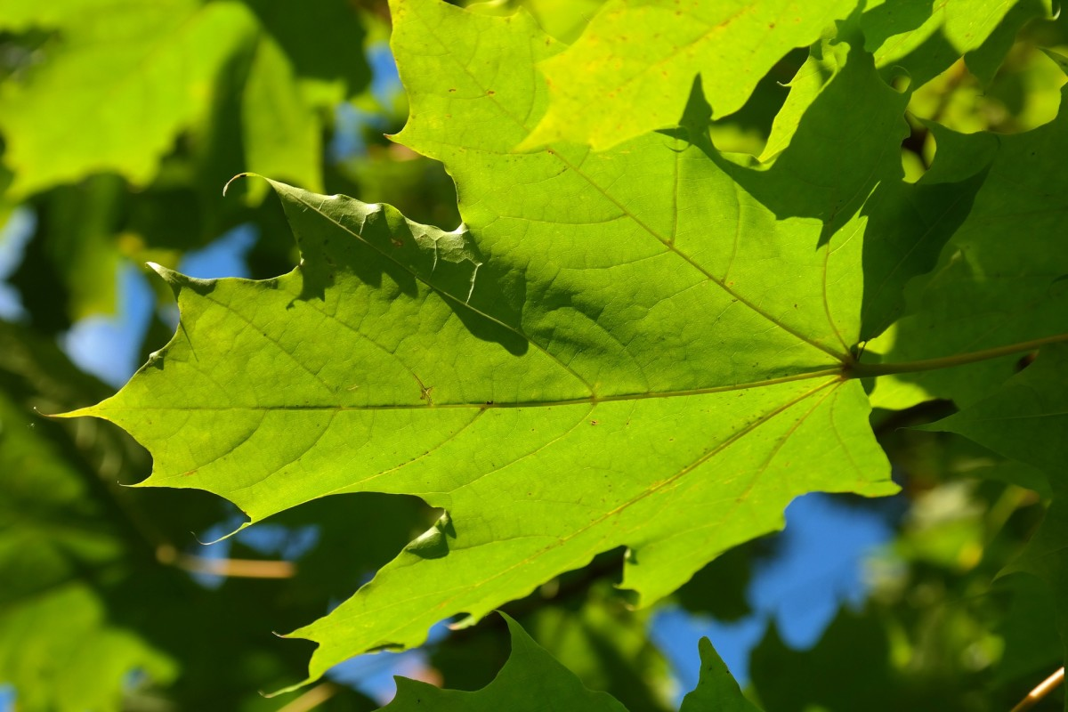 The leaves of the silver maple resemble the five-pointed leaves of other maples.