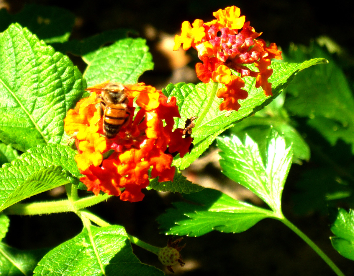 A bee is attracted to this flowering lantana.
