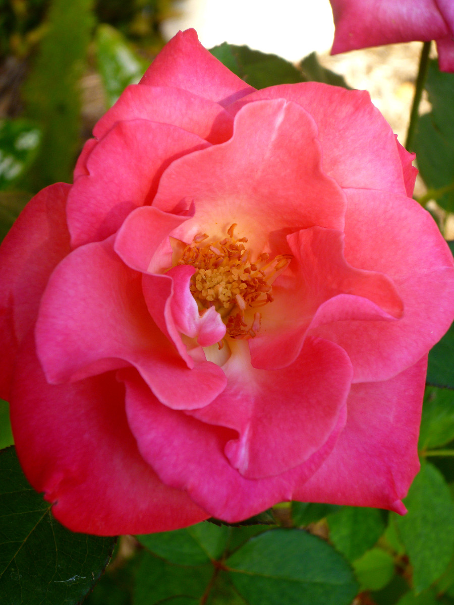 The name of this Jackson Perkin's Rose is Mother's Rose