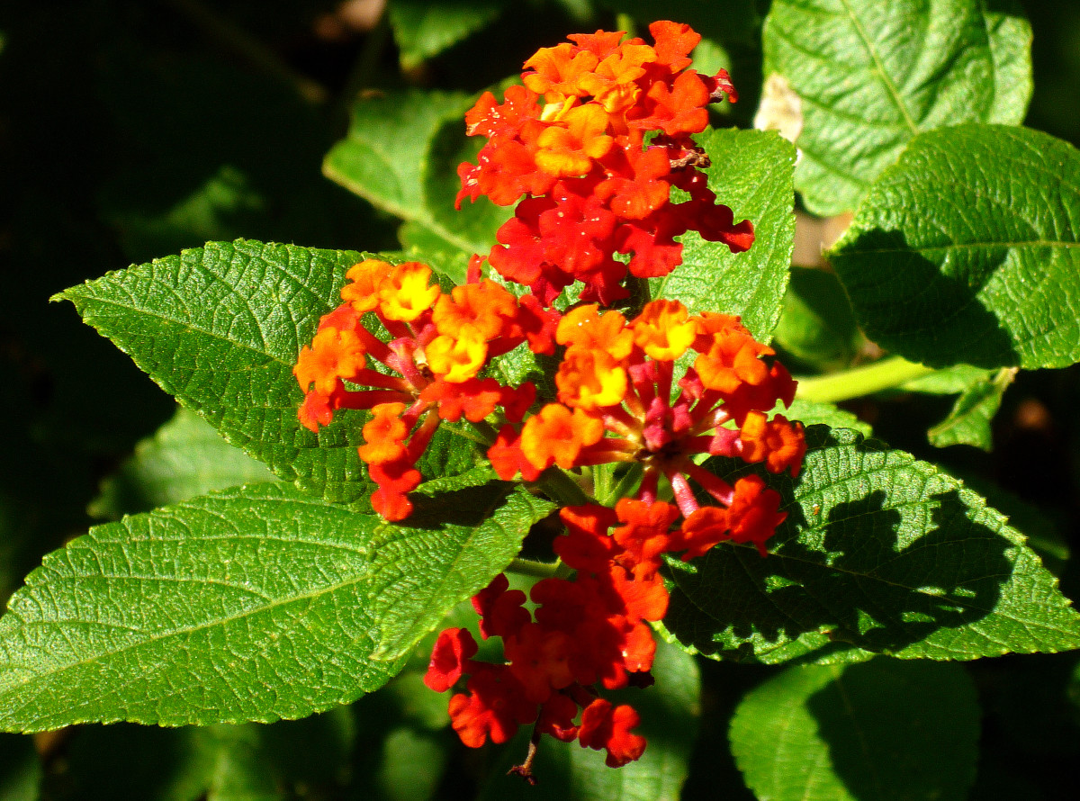 Orange colored lantana