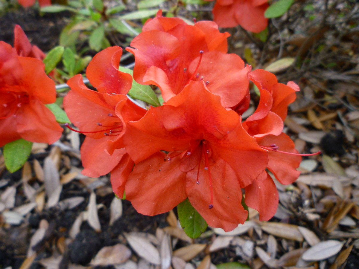 I have planted many Encore azaleas in this color around our yard.