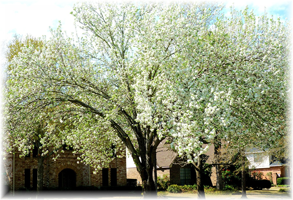 Neighborhood Bradford Pear tree in all its springtime glory