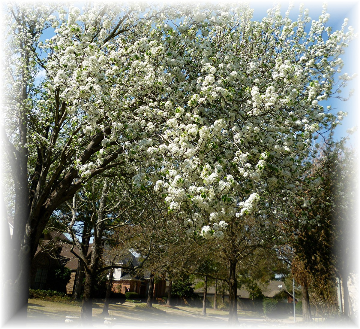 Bradford Pear trees in bloom in the Spring of the year.
