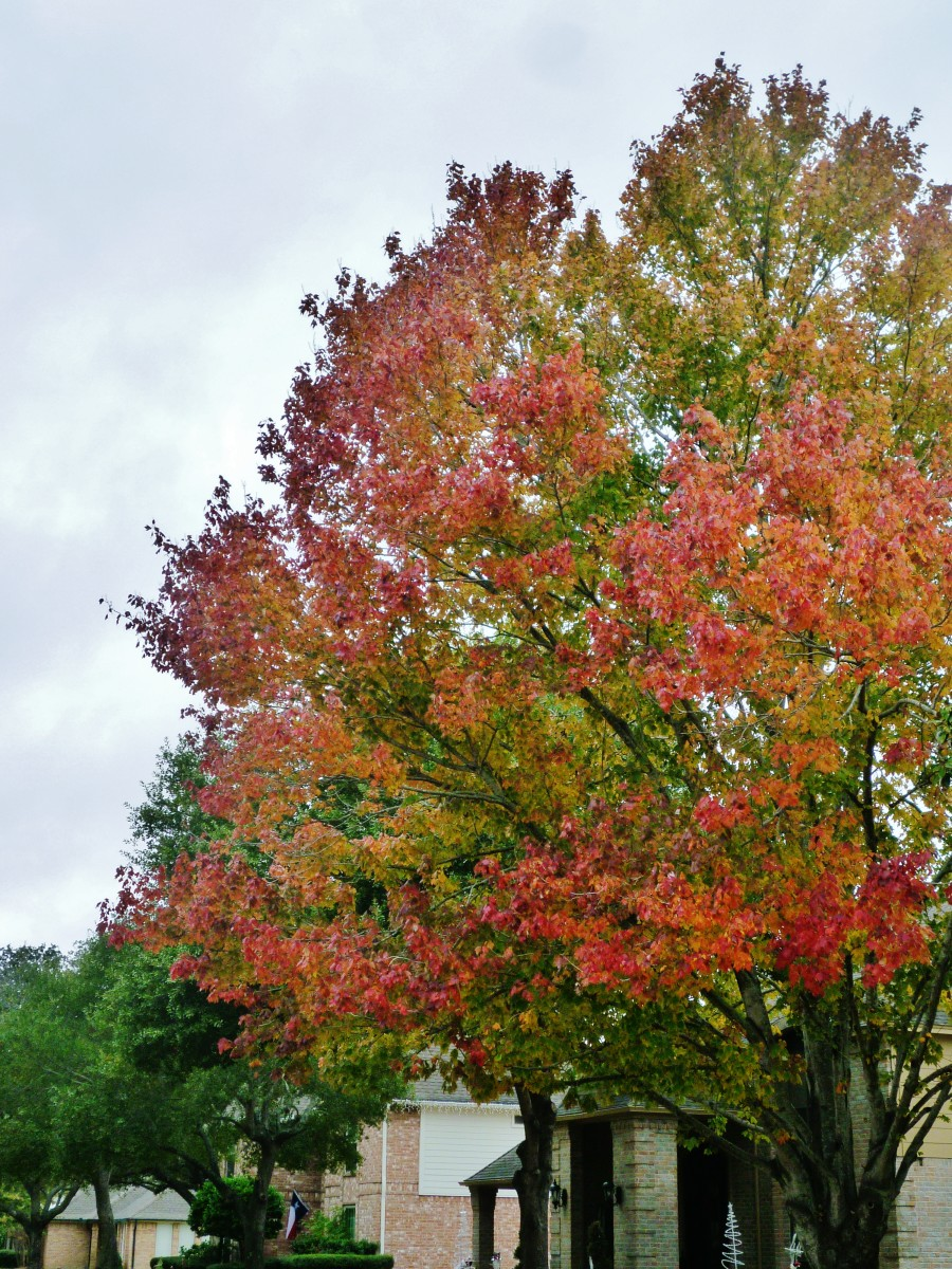 Bradford Pear tree showing Fall colors