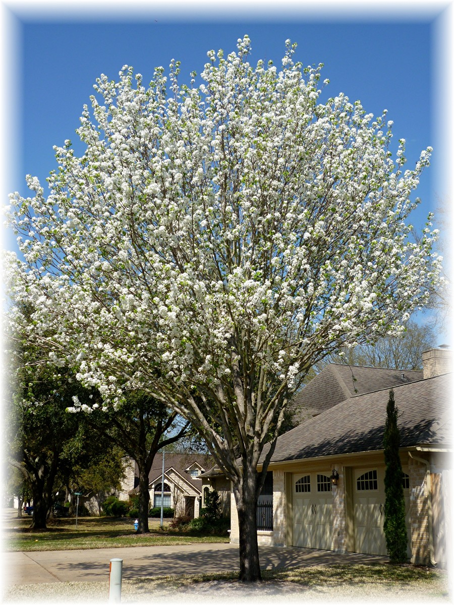 Bradford Pear trees are a nice size for city lots.