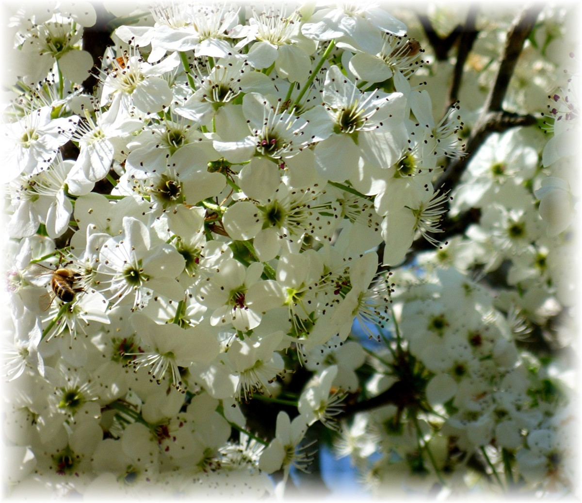 Notice the bee amidst the blossoms?