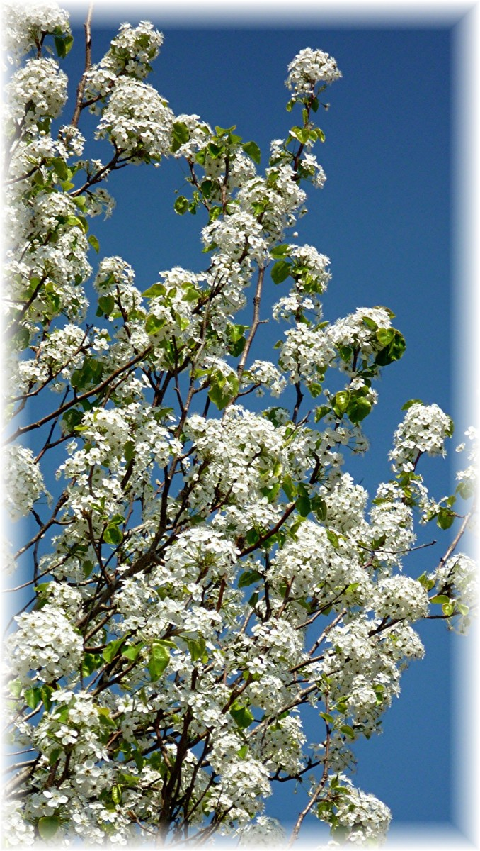 Bradford Pear blossoms against a clear, deep blue sky