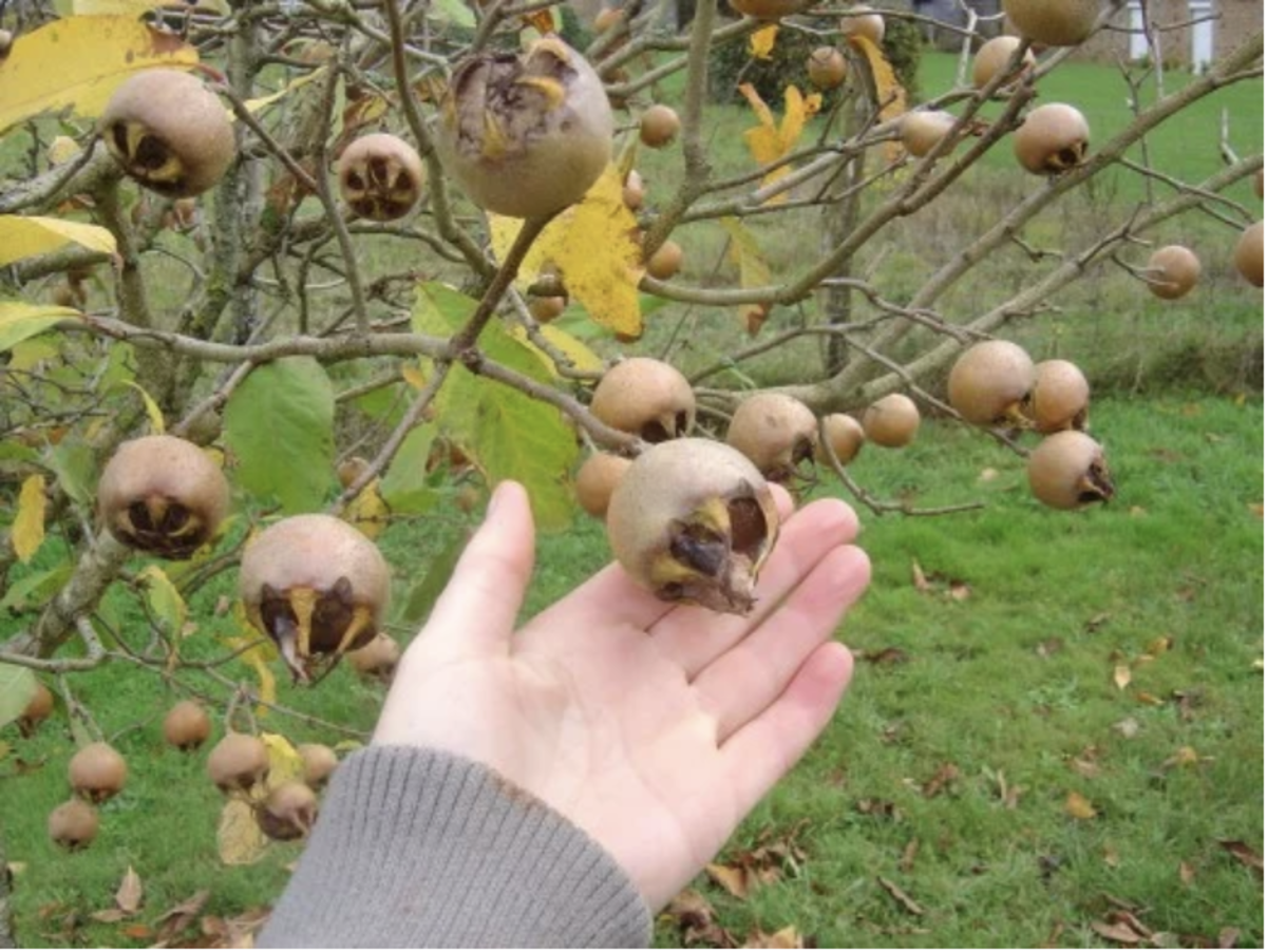 These fruits are larger than the ones on my tree.