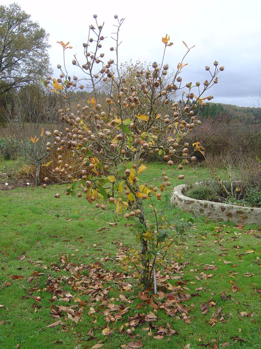 The medlar makes a pretty, small tree for the garden. This is a young specimen.
