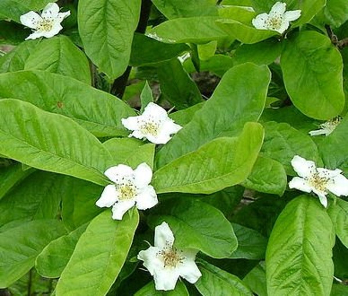 Medlar blossoms and leaves