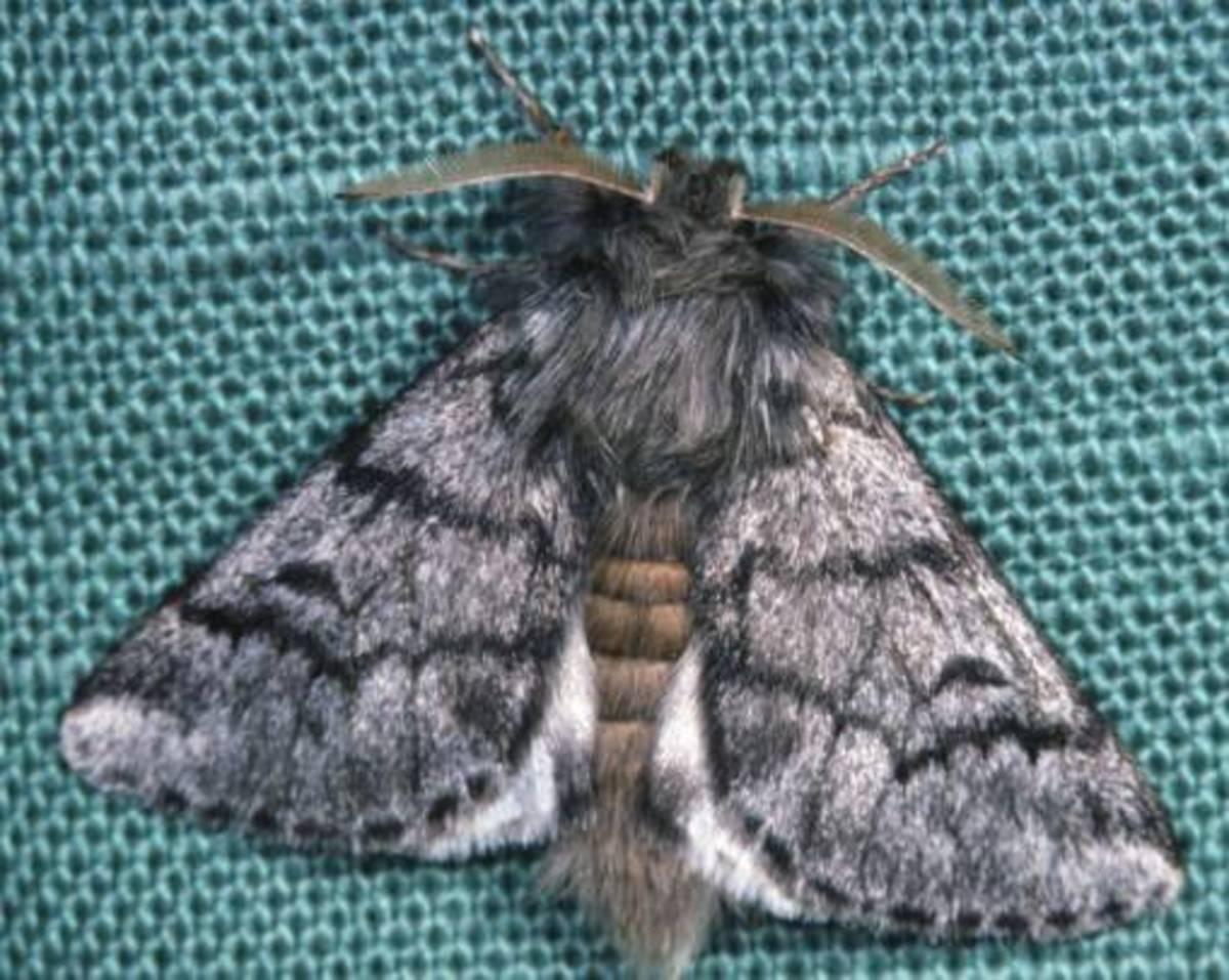Pine Processionary Moth (Thaumetopoea pityocampa)