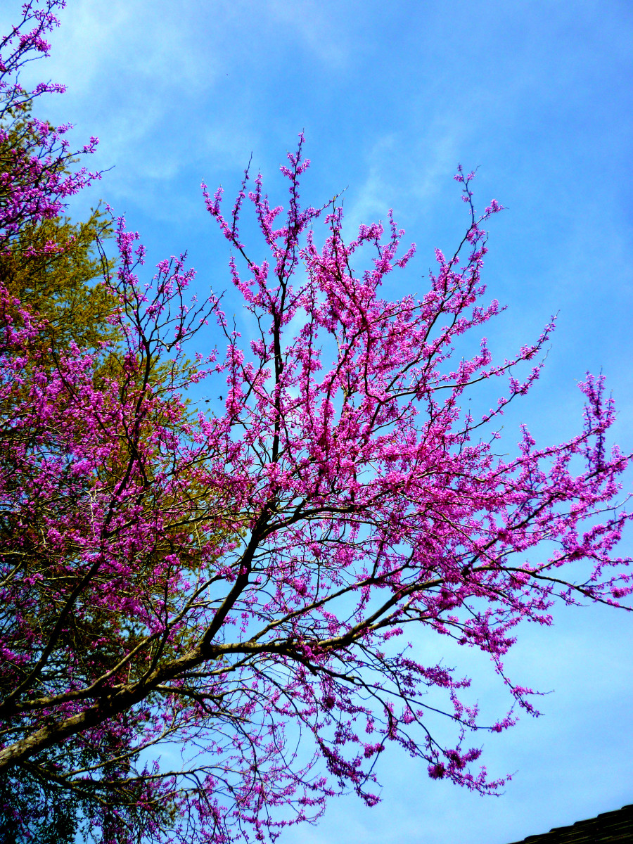 The Redbud tree in our backyard looking up towards the sky