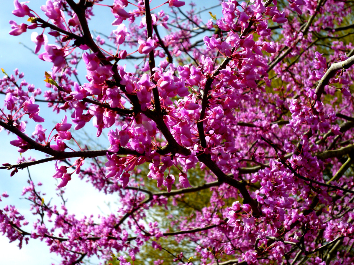 Closeup photo of the beautiful Redbud blossoms