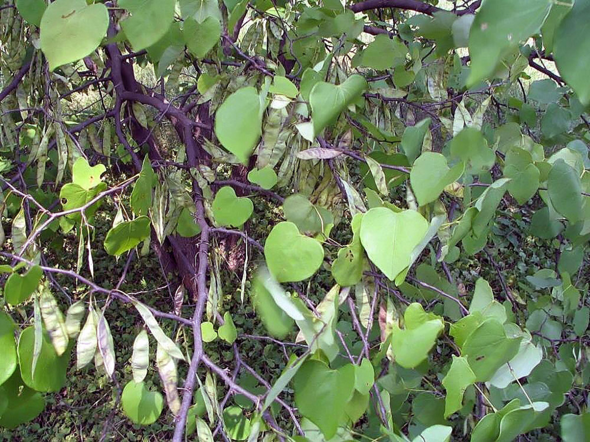 Redbud tree leaves and pods