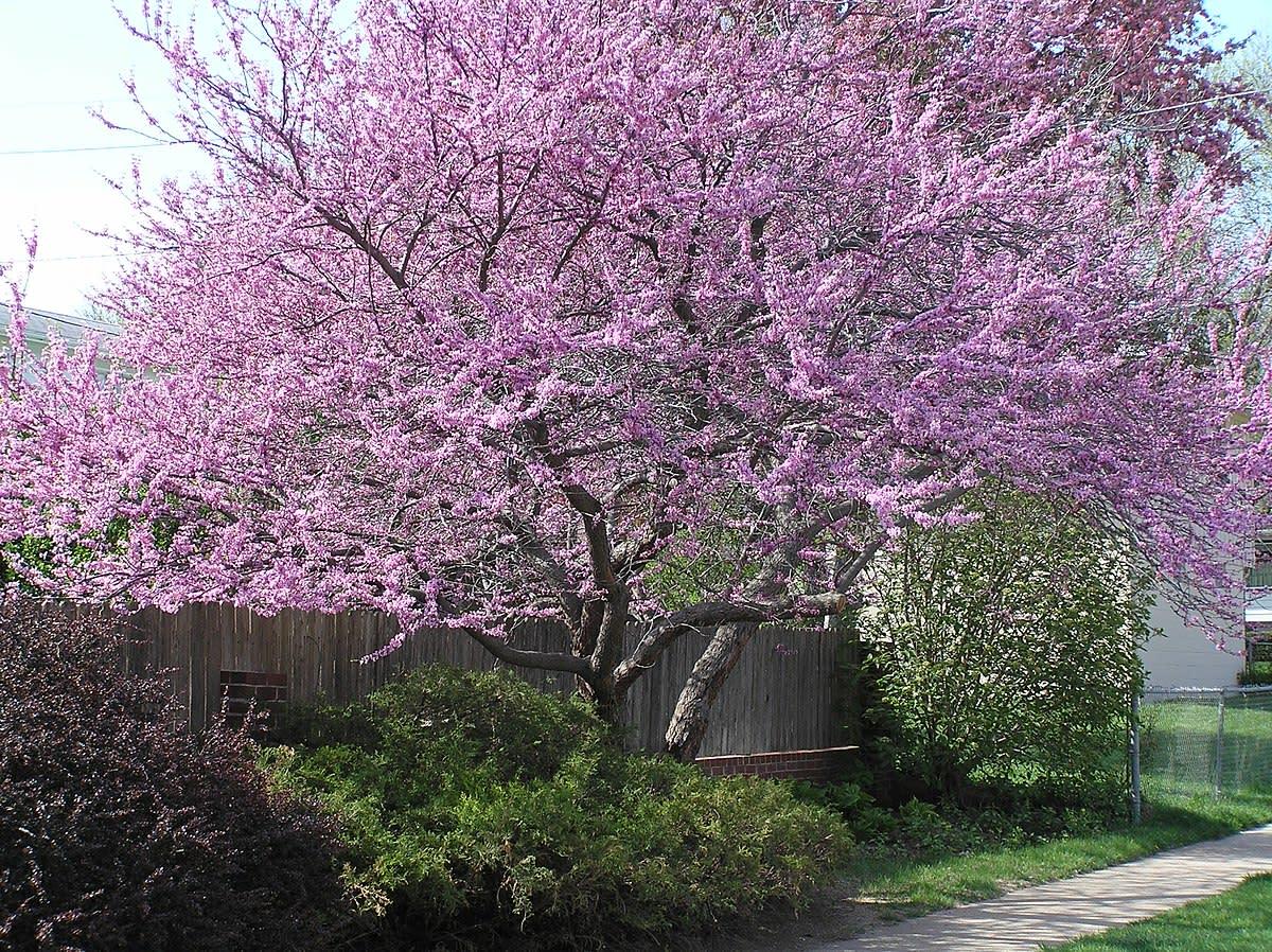 Redbud tree in bloom