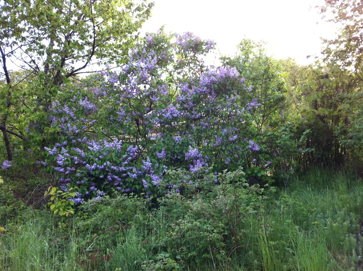 Lilac, Syringa Vulgaris