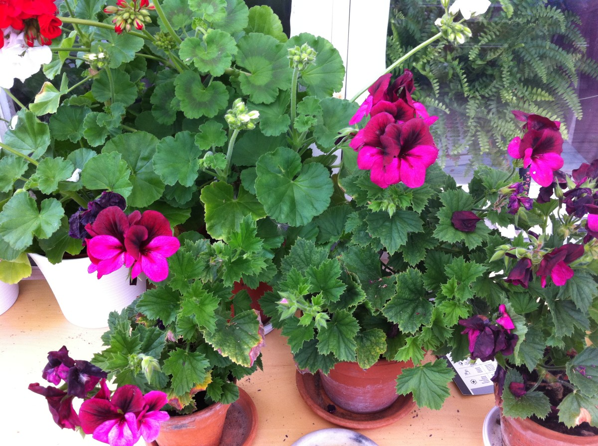 Geranium really fits in a vintage garden!