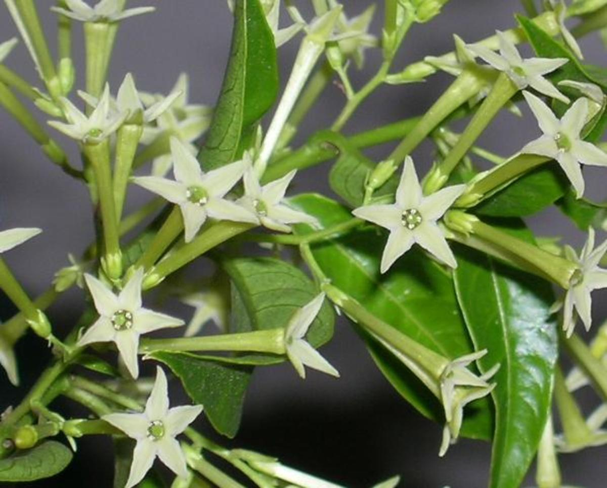 night blooming jasmine in flower (night time)