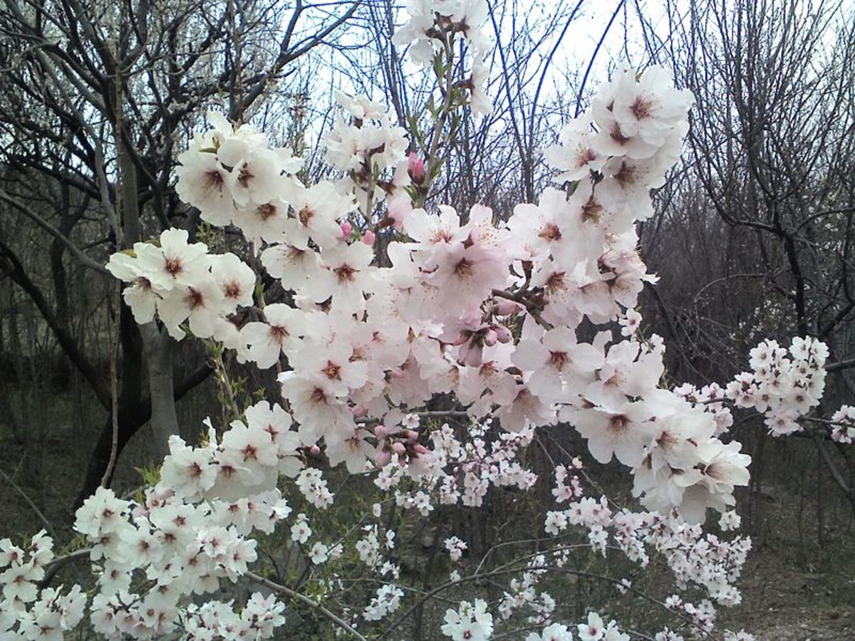 Apricot and peach blossoms are an added delight for the gardener. They are beautiful with their pink to white blooms and perfect for the backyard.