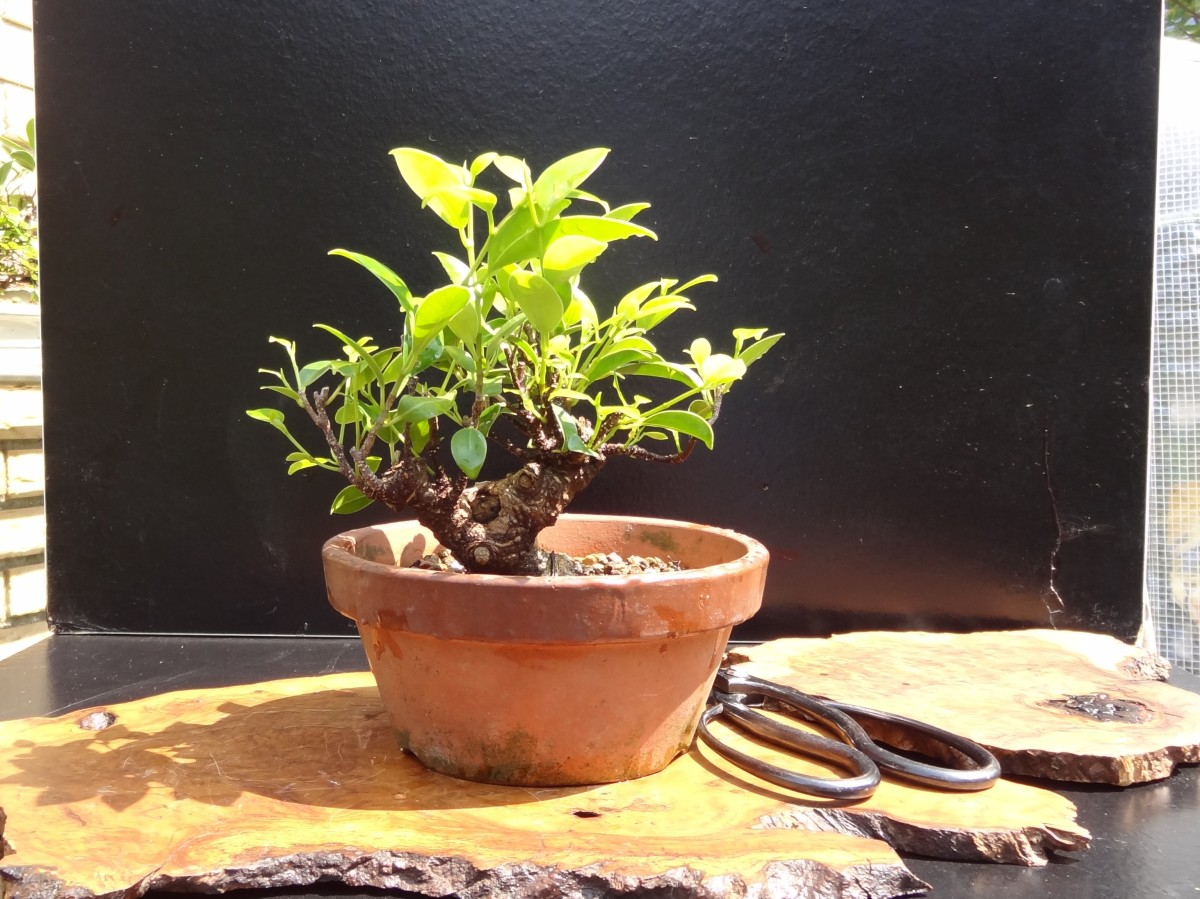 ginseng ficus the perfect bonsai tree for the beginner. Black Bedroom Furniture Sets. Home Design Ideas