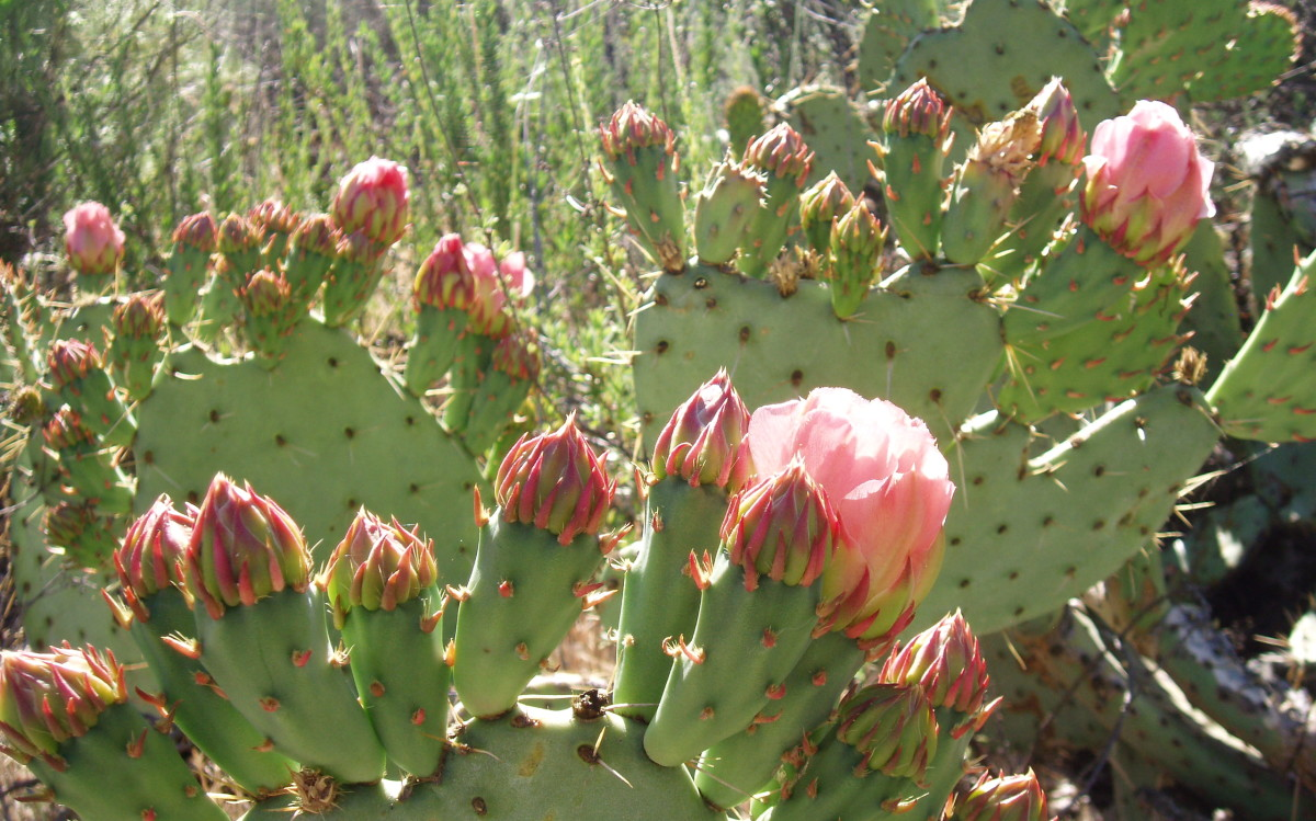 Prickly pear is native to Southern California, and requires little or no water when planted there. When planted in a wetter climate, it requires special soil with great drainage, an extremely sunny spot, and no water once it's established.