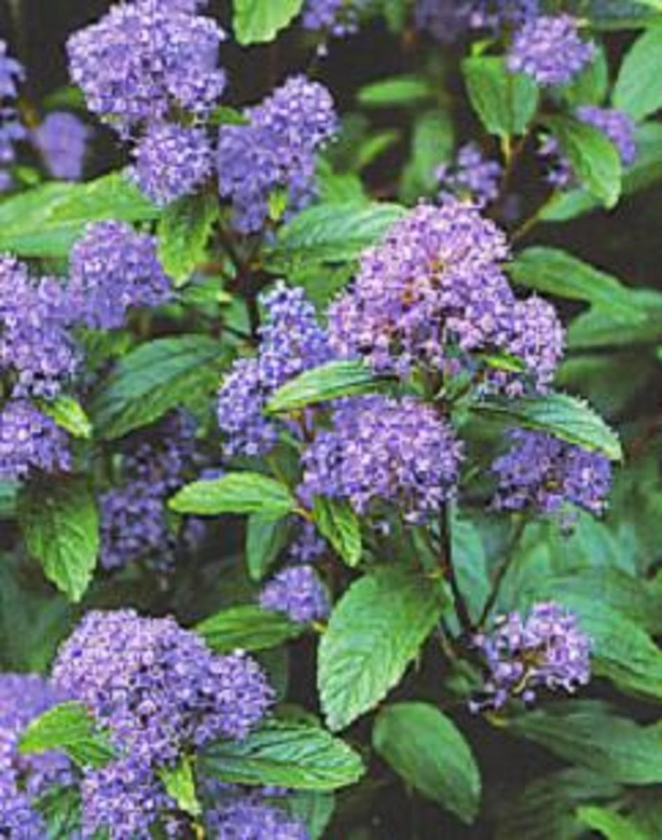 How to Grow Ceanothus (Californian Lilac)