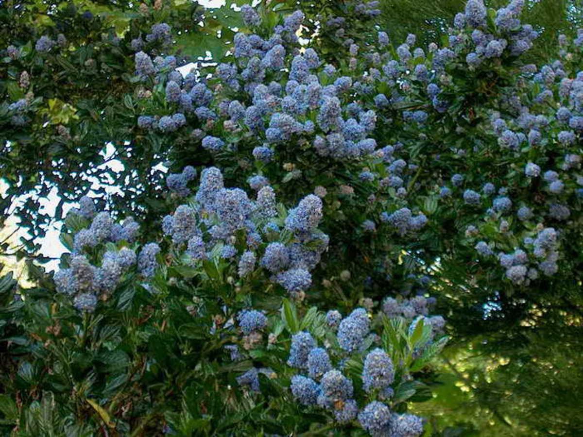 Ceanothus 'Victoria' - California Lilac
