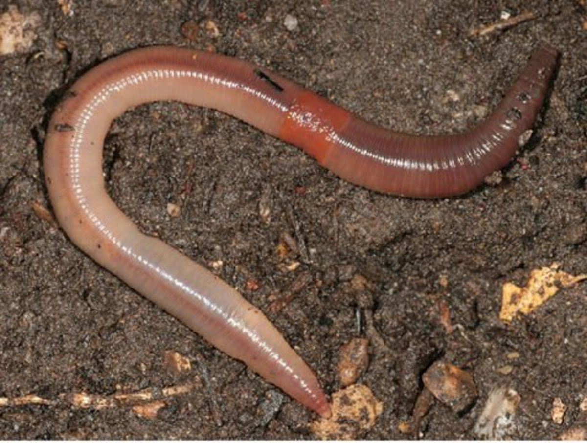 Lumbricus terrestris, the common earthworm known as a nightcrawler, does not survive in the compost pile but will enrich and aerate your garden beds.