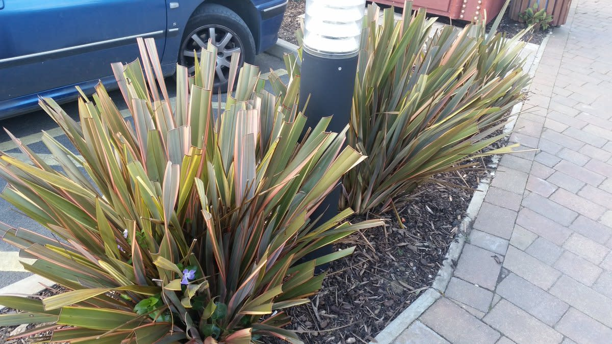 Improper pruning of a New Zealand flax in a tight space.