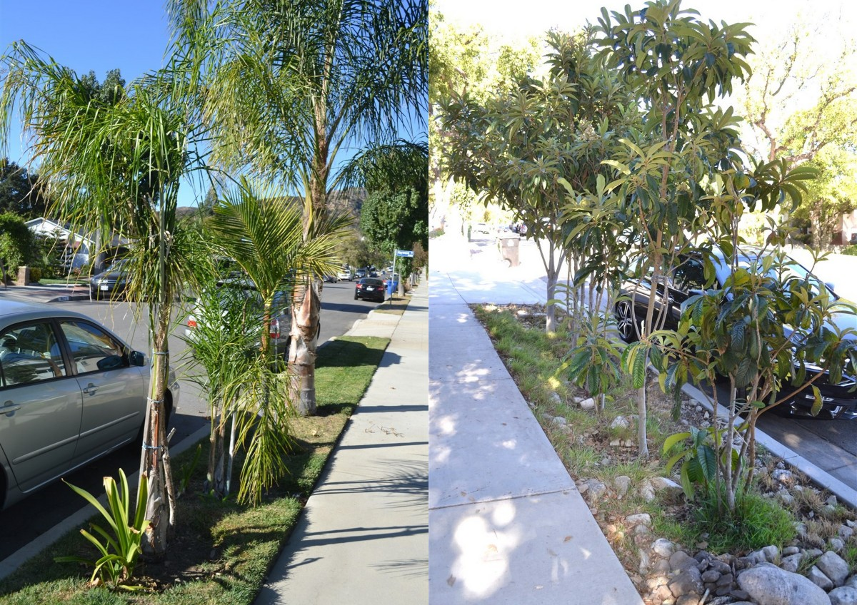 This shows an overly planted residential median.   At left, many different palm varieties have been planted in a narrow strip creating a visual nightmare. Loquat trees at right are simply too crowded!