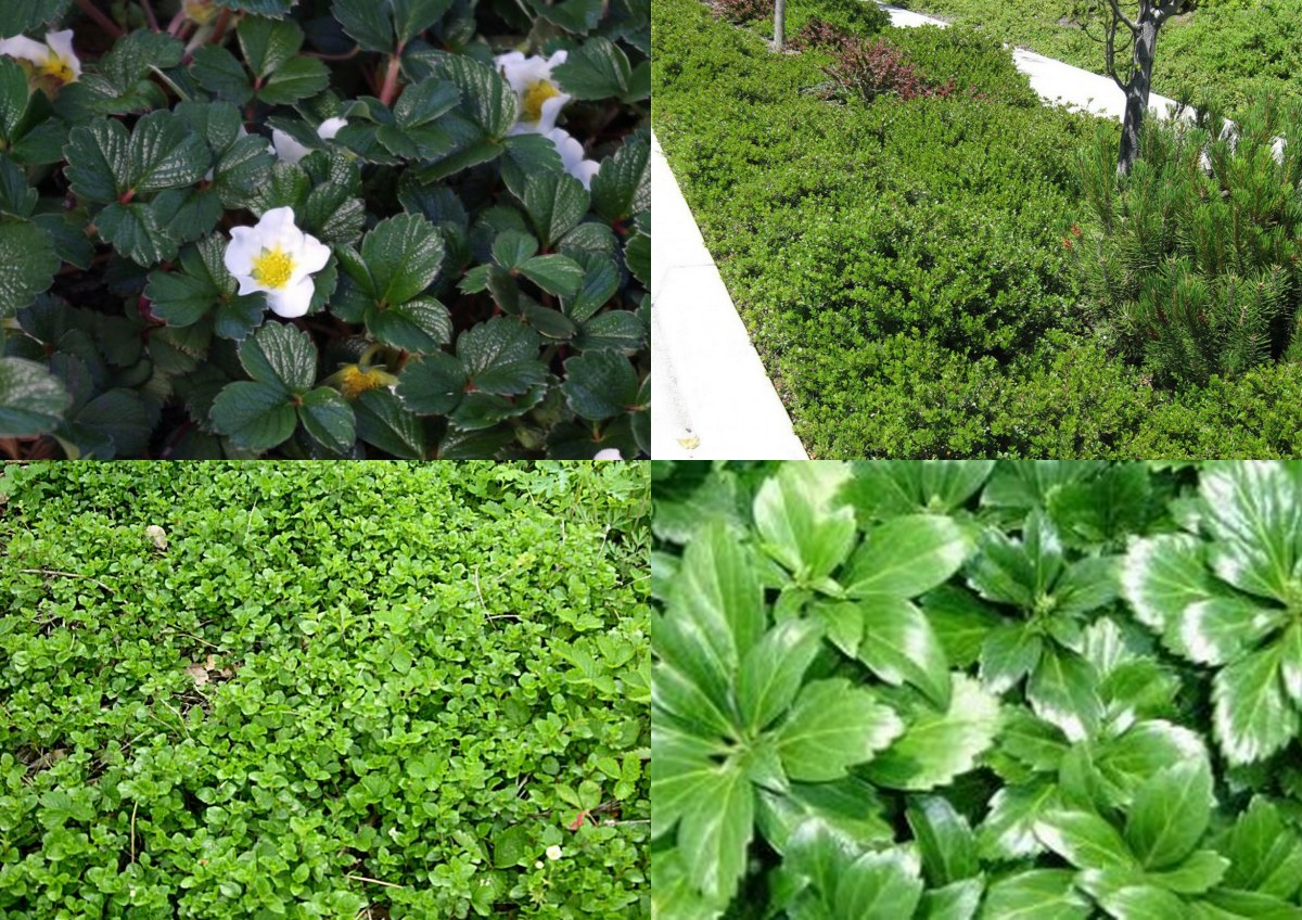 "Groundcovers for shade. Clockwise: Fragaria chiloensis, Arctostaphylos :Emerald Carpet"", Pachysandra terminalis, Satureja douglasii"