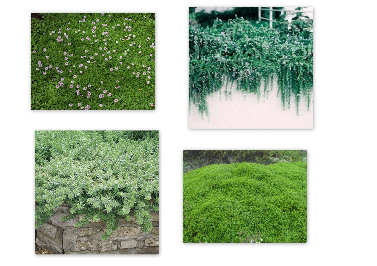 "Groundcovers for sun. Clockwise: Lippia repens, Rosmarinus officinalis ""Huntington's Carpet"", Baccharis pilularis ""Pigeon's Point"", Myoporum parvifolium"