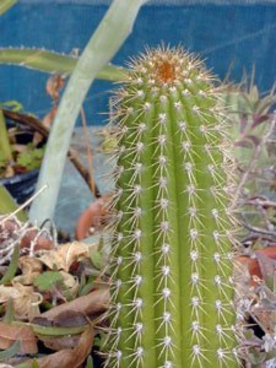 Types of Indoor Cactus Plants