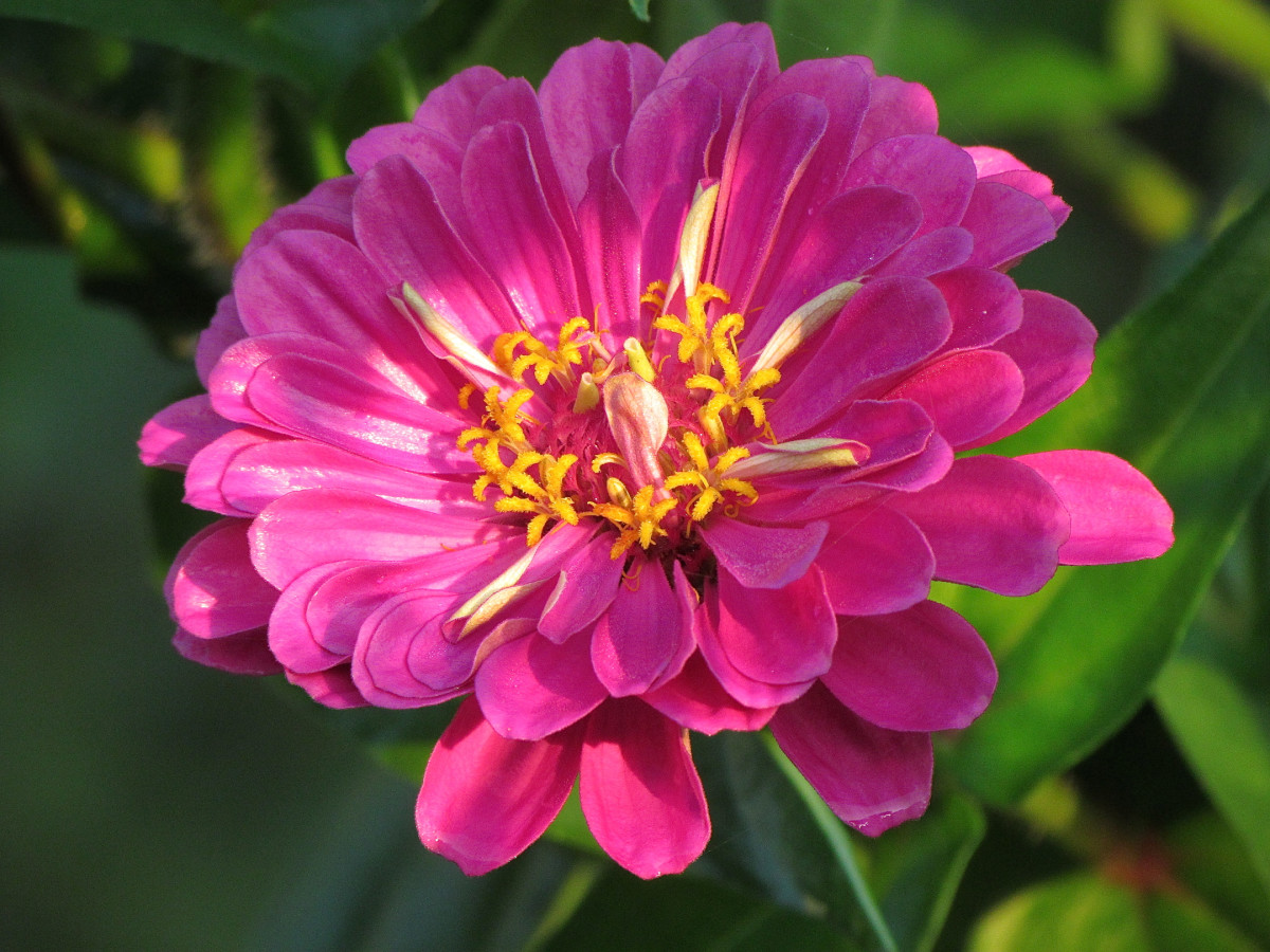 Gorgeous pink zinnia bloom