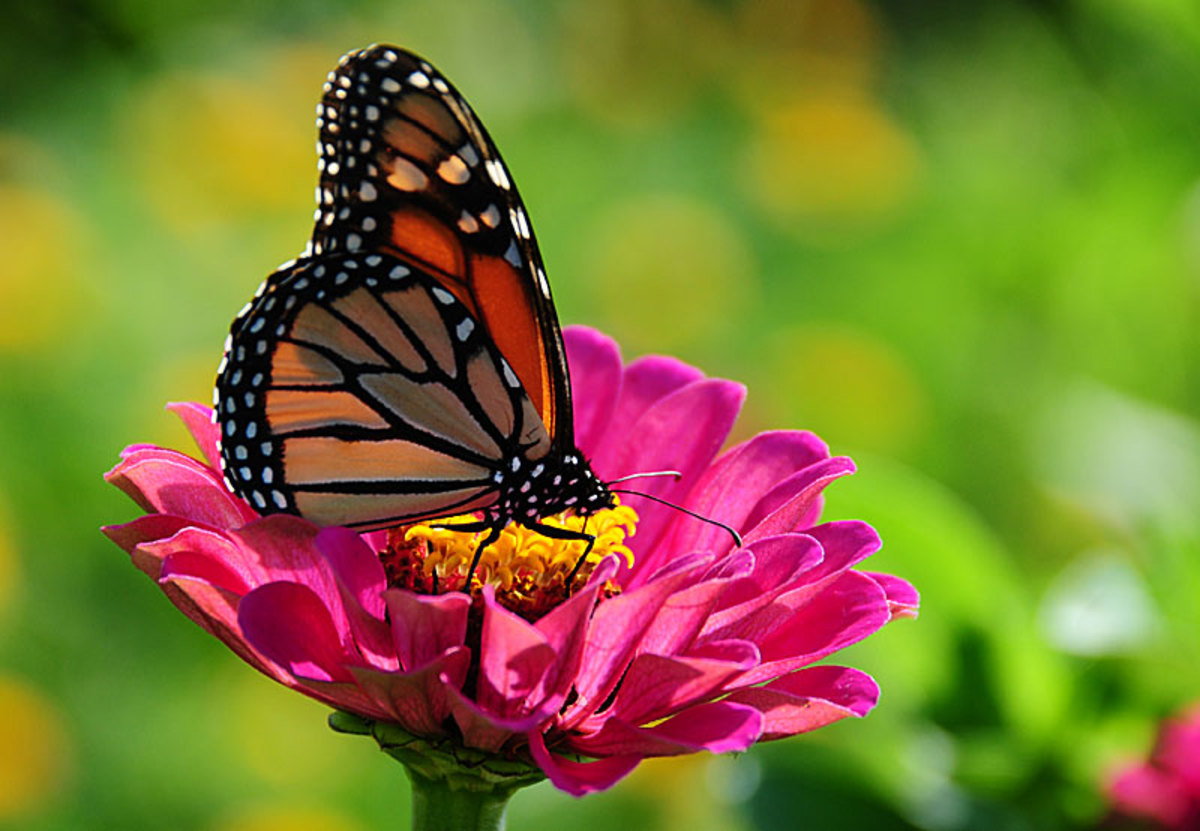 Zinnias attract butterflies
