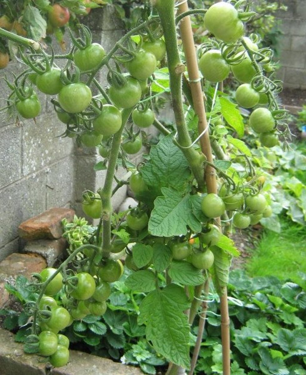 My tomatoes are growing very well.
