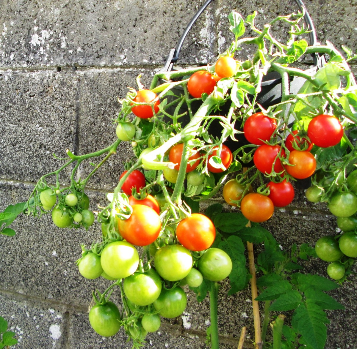 How to Care for Tomatoes in a Hanging Basket