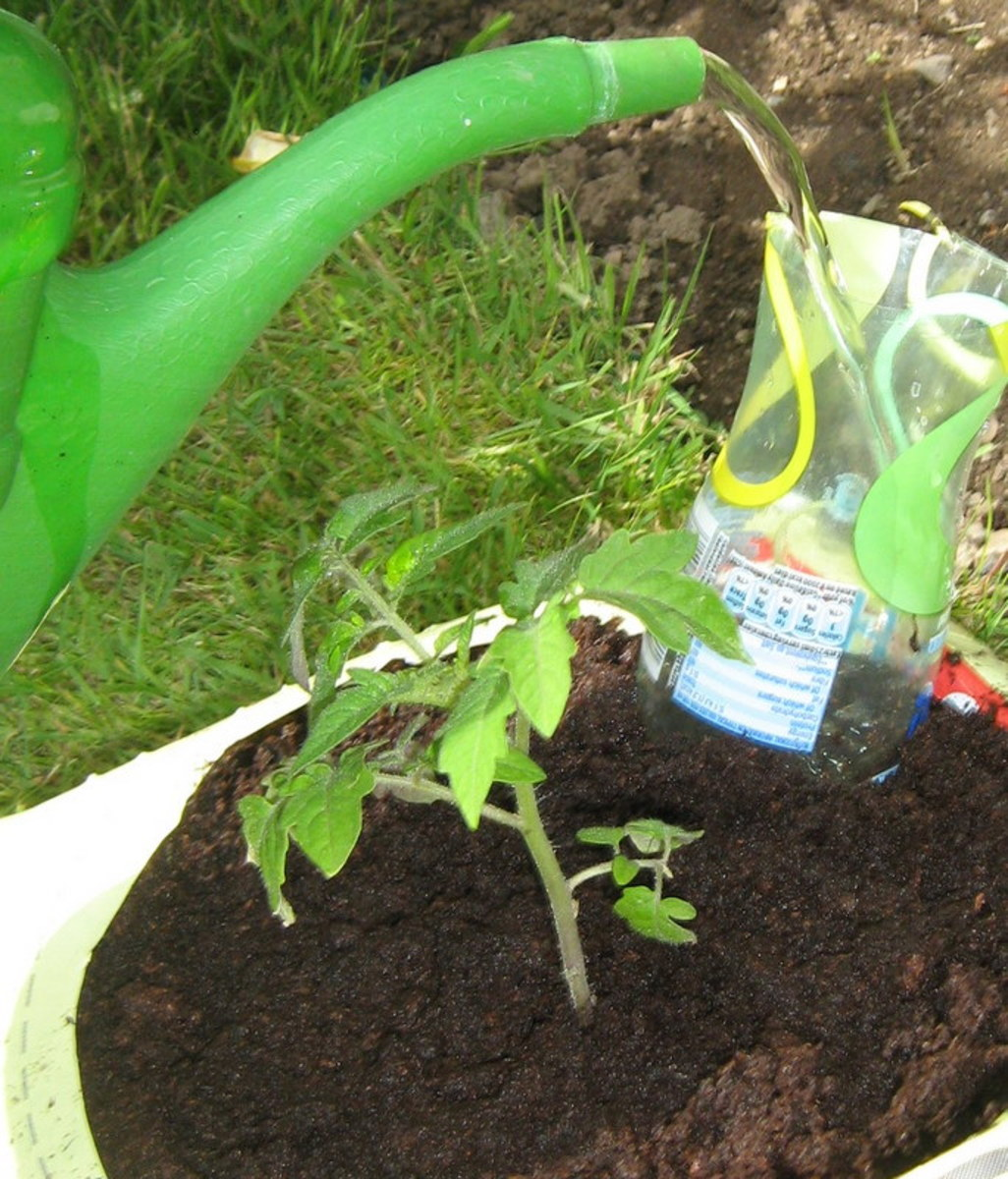 How often should I water my tomato plants?