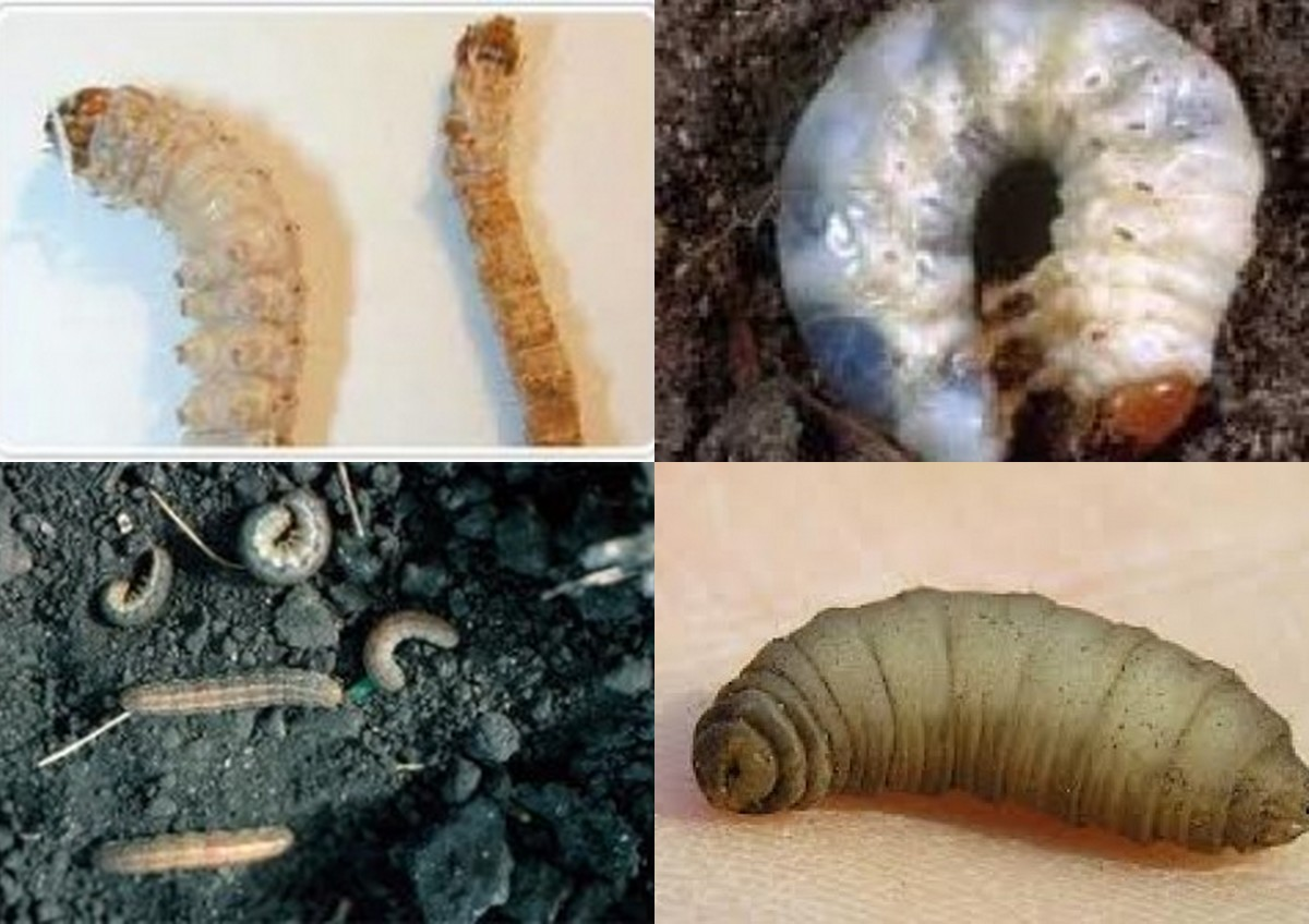 clockwise from top left: sod webworm, beetle grub, cutworm, crane fly leather jacket