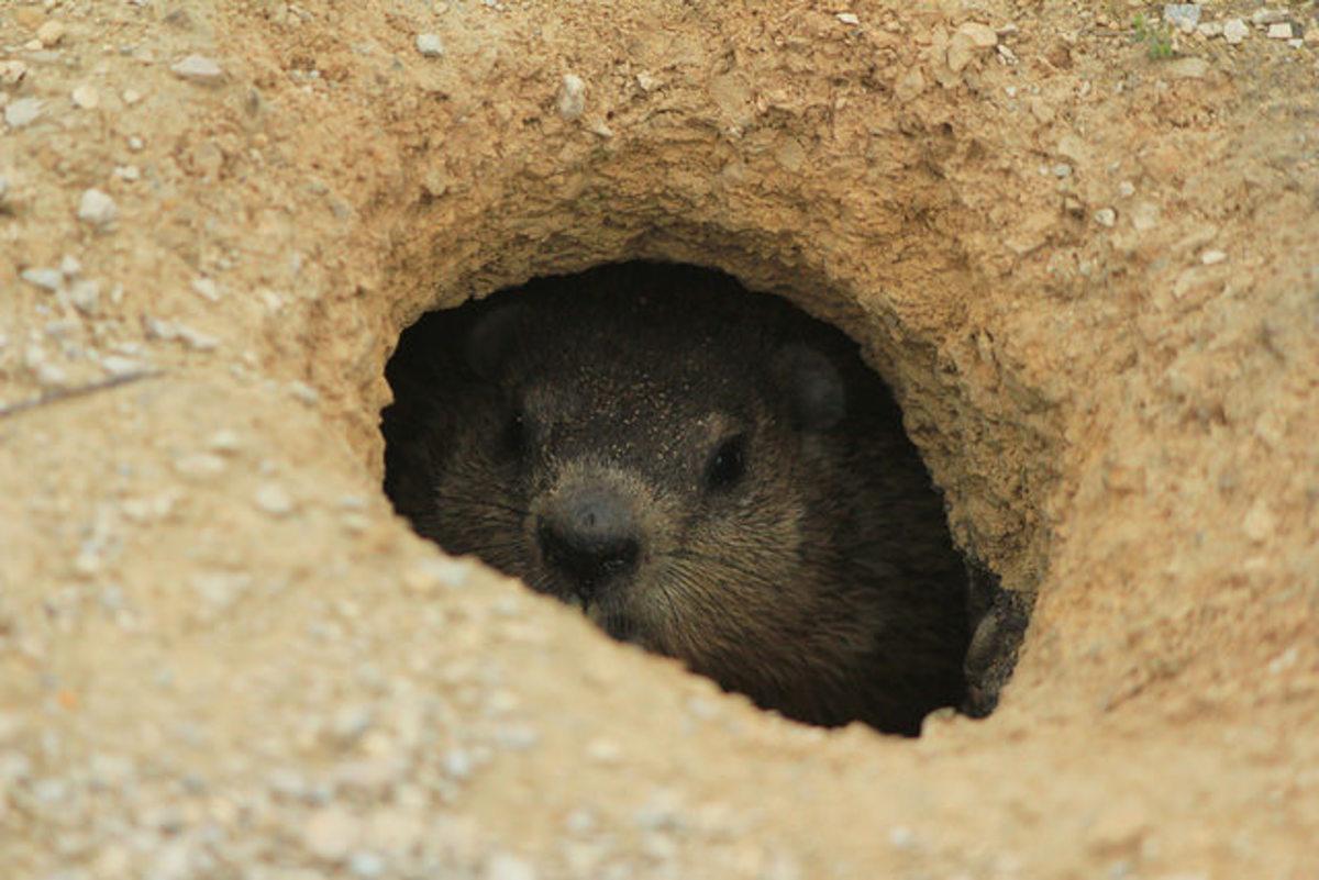 Groundhog Living Underground