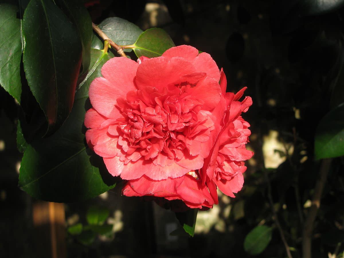 Camellia 'Althaeiflora'