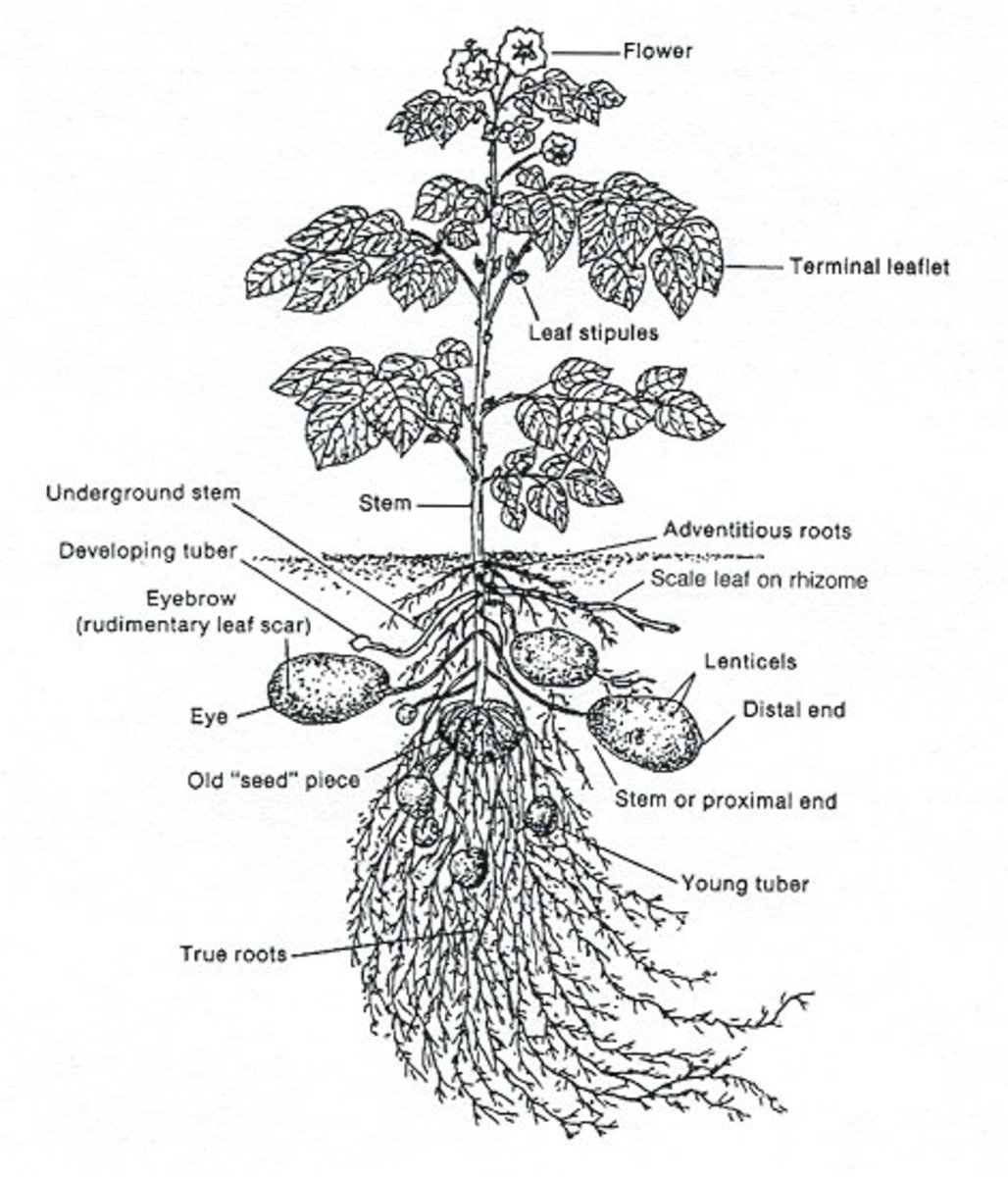 This illustration demonstrates how potato plants grow both above and below the ground.