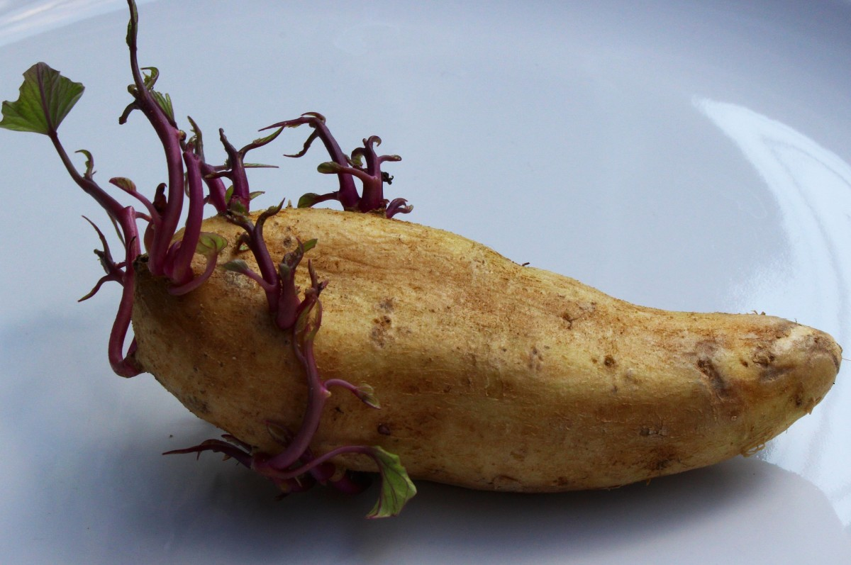It's often best to start with a seed potato like this one.