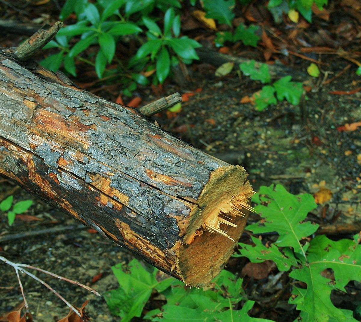 Storm damaged trees are a good source of wood for stumperies. This broken limb is in the process of being cut up.
