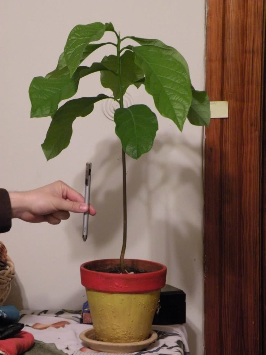 How To Grow Avocado From Seed Or Pit Dengarden