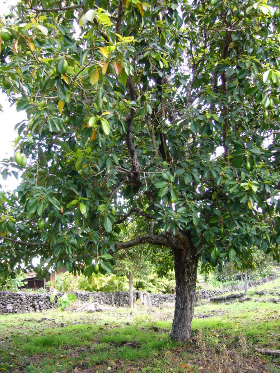 An avocado tree.